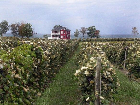 grapeharvest2006 023X